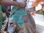 Young kudu bull treated for mange