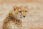 Cheetahs donated
