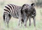 A zebra in my head.