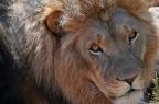 The SanWild Lions