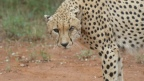Cheetah male's eye injury cause for concern