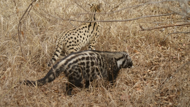 Serval and civet
