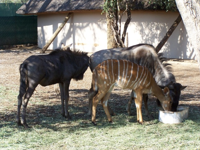 Blue wildebeest and nyala
