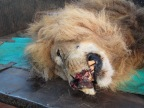 Lion receives life-saving bush surgery