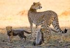 Cheetah cubs born