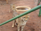 Cheetah females arrive from Eastern Cape