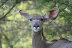 Bush surgery to help crippled young kudu