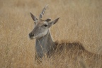 Eland cows in trouble