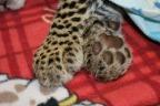 Amazing leopard cub rescue