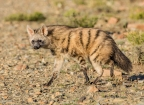 Rare aardwolf injured