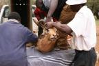 Snared impala ram